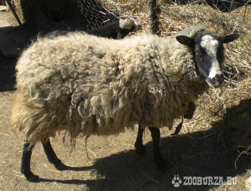 Romanovská ovca