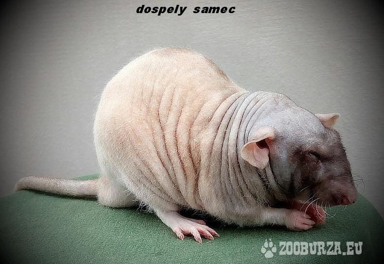 Fuzzy (bezsrste) potkany