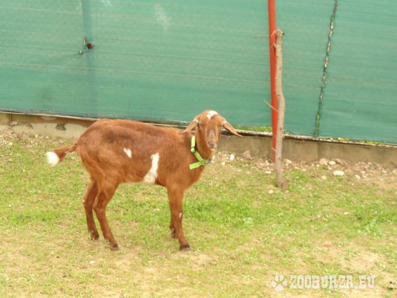 Predám anglonubijskú kozu a capka