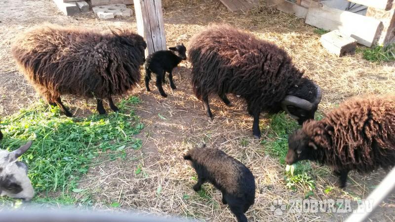 Predám mini ovečky Quessantske