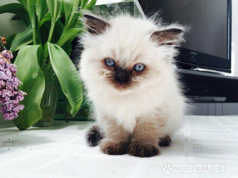 ZooBurza.eu » Mačky » MačiatkaInzerát číslo  41471 354da7a0d81