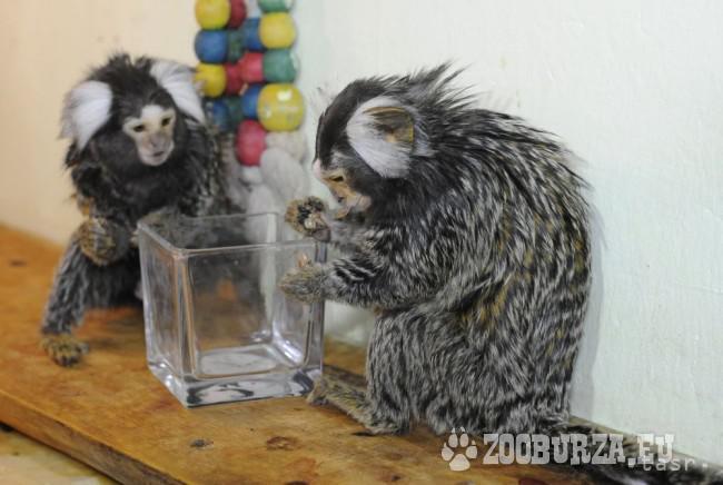 Opičky - kosmáč bielofúzy