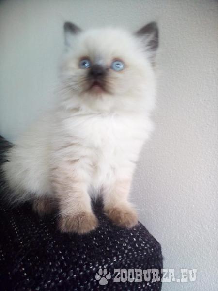 Predam kratkosrste Britske maciatko COLOR POINT po - Predaj. ZooBurza.eu »  Mačky » MačiatkaInzerát číslo  41599 c9d4fcd25e1