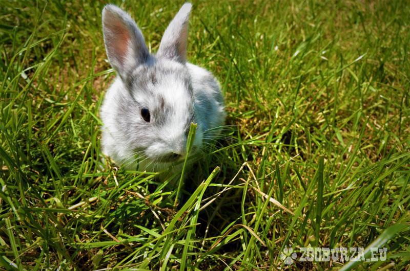 Zdrobnený králik rhönský na predaj