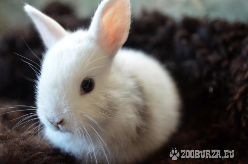 Prekrásne zdrobnené králiky na predaj