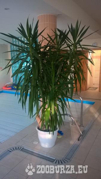Yucca izbová rastlina