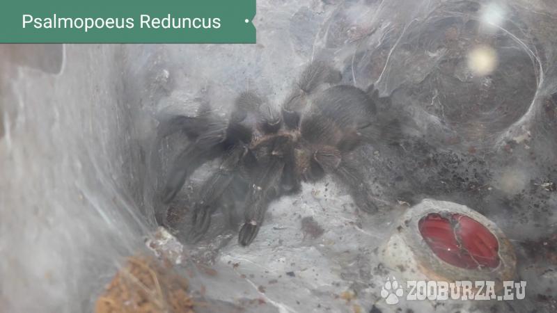 Pavúky Psalmopoeus Reduncus