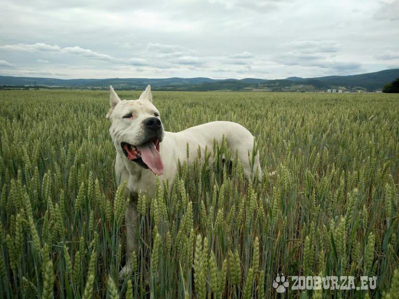Argentinska doga- krytie