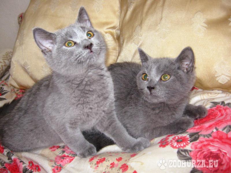 Modré a lilavé BRITSKÉ mačiatka - K ODBERU