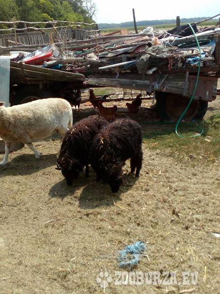 predam ovce racka a kent