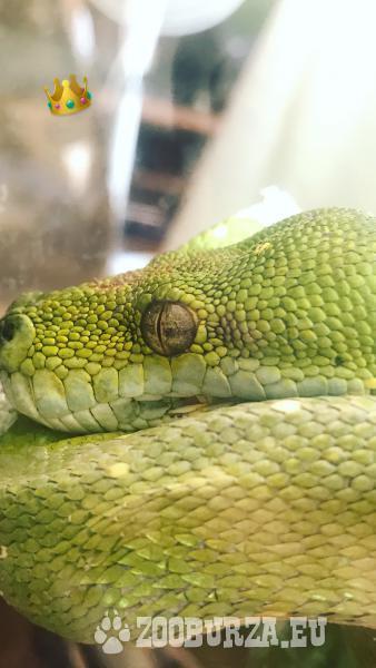 Morelia viridis - pytón zelený