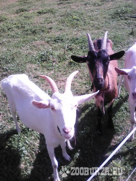 predám kozy