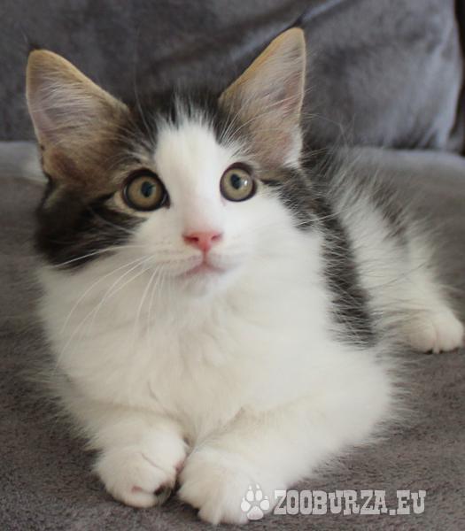 Mačiatka Nórskej lesnej mačky