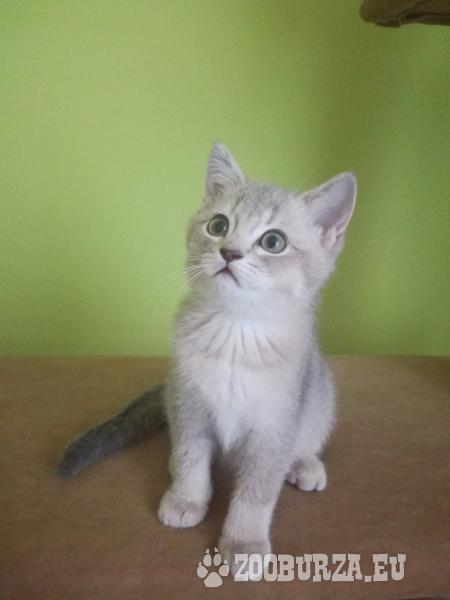 Britské krátkosrsté mačiatka