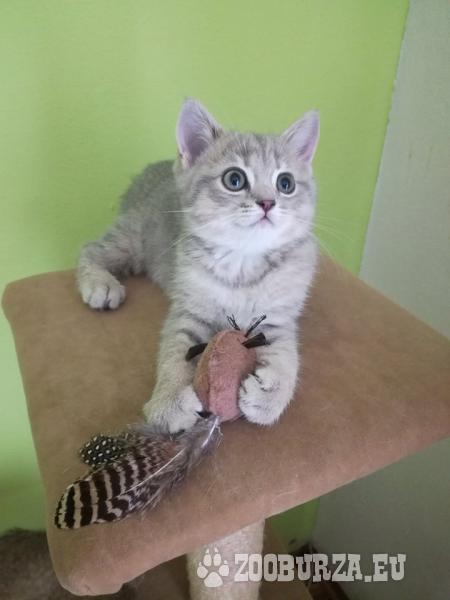 Britské krátkosrsté mačiatka - Predaj 1d6991bf778