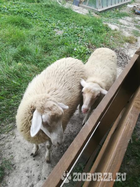 Predám ovce surne