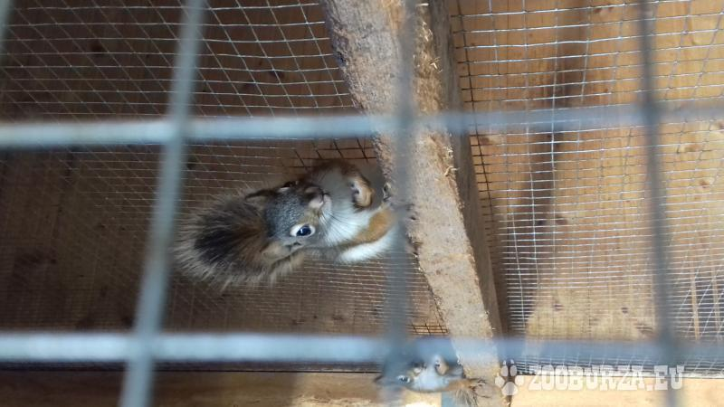 Kanadské veveričky