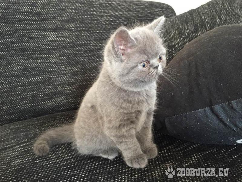 Predam krásne britské modré maciatko-kocurika.