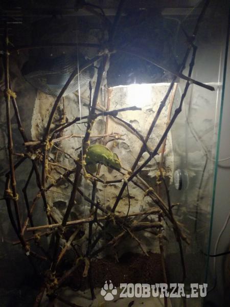 Chameleon jemenský + terárium