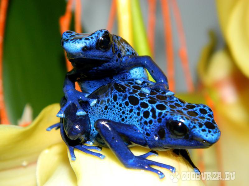 žabky pralesničky vittatus, auratus