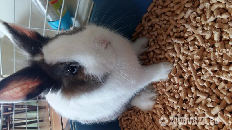 Zakrslý zajac