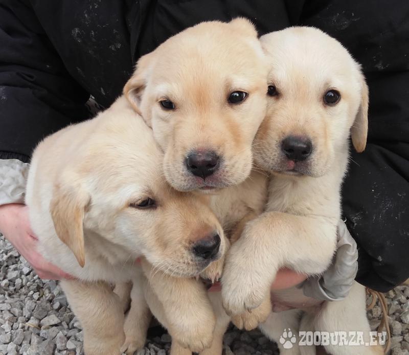 Labrador - šteniatka