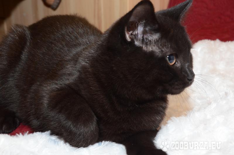 Zaawansowane kot brytyjski krótkowłosy FB66