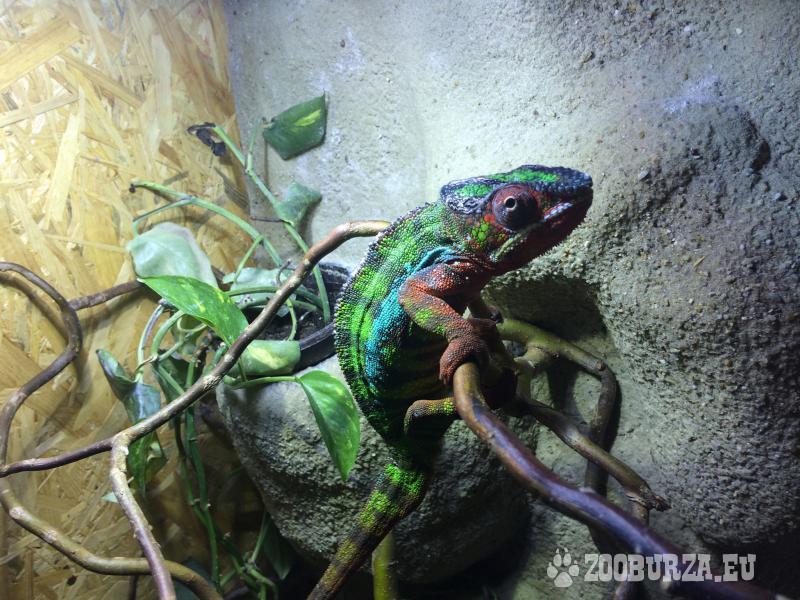 Chameleon Pardálí lokalita Ambilobe