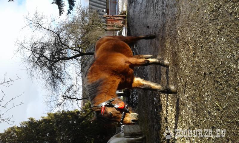 Spoľahlivá kobyla