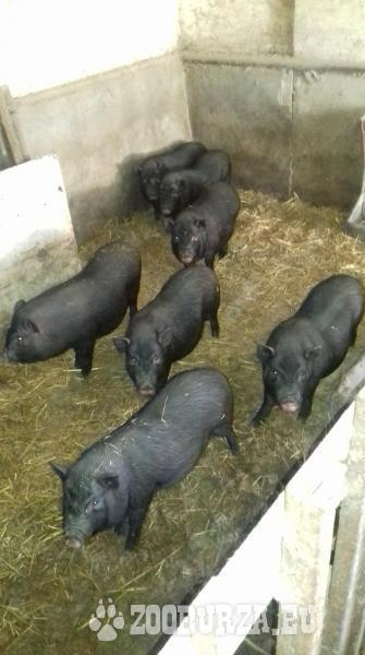 predam vietnamske prasata na dalsi chov