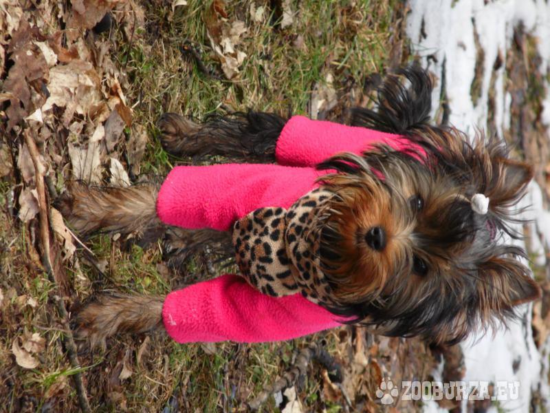 Jorkšírský terrier -štěně s PP