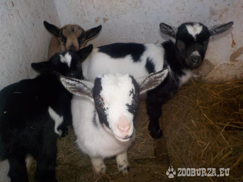 ZooBurza.eu » Hospodářská zvířata » Ovce a kozyInzerát číslo  47828 f676a4f5e0