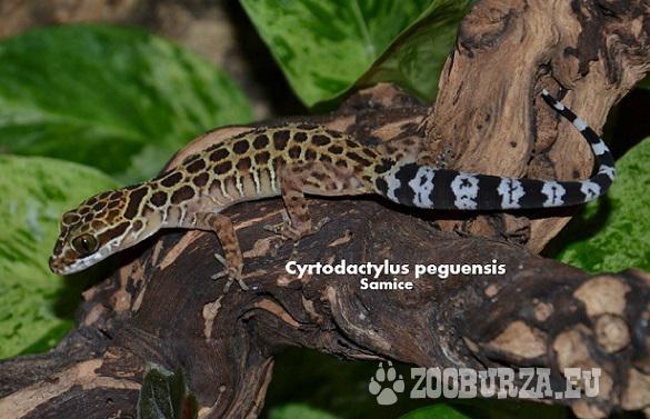 Cyrtodactylus peguensis