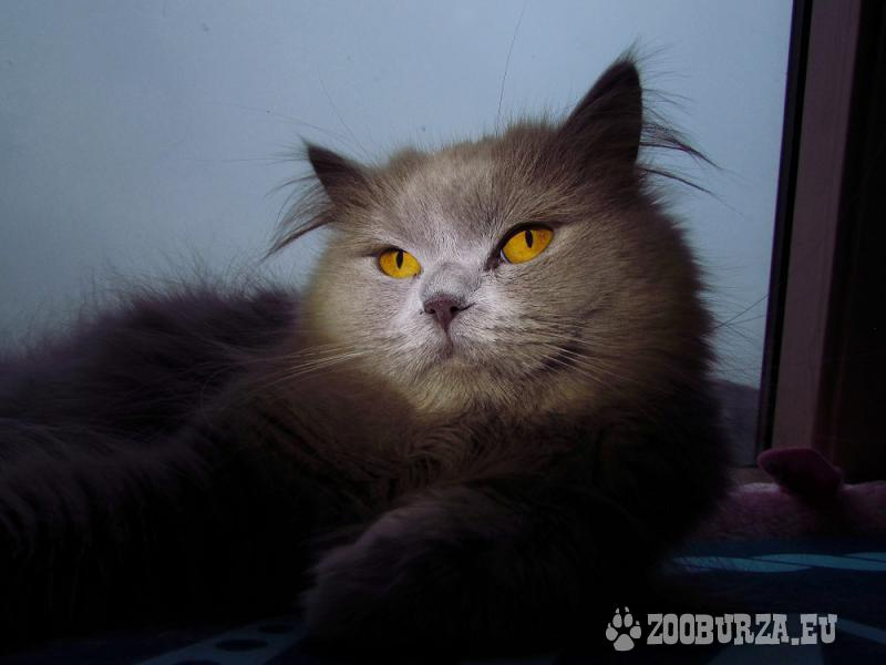 Britské mačky