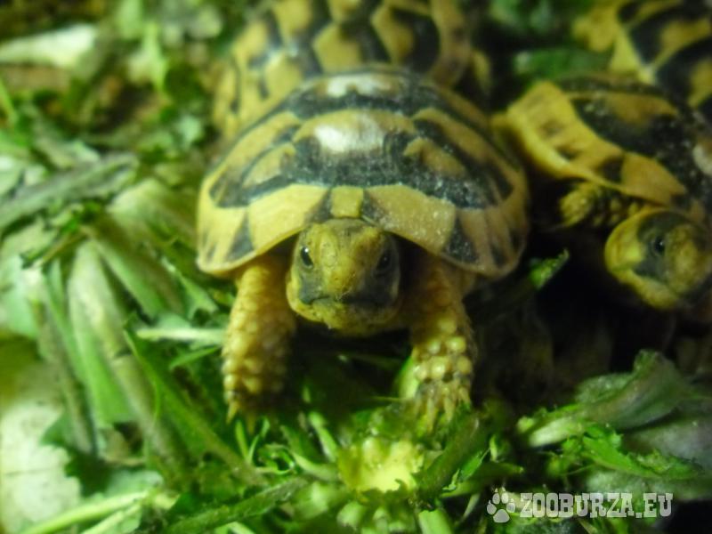 korytnačka žltočierna
