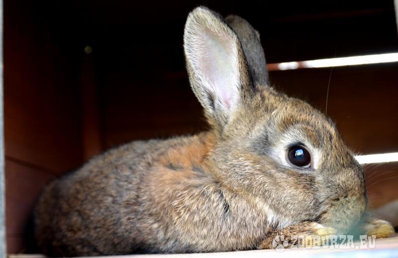 Zakrslé, zaočkované králiky + zadarmo krmivo