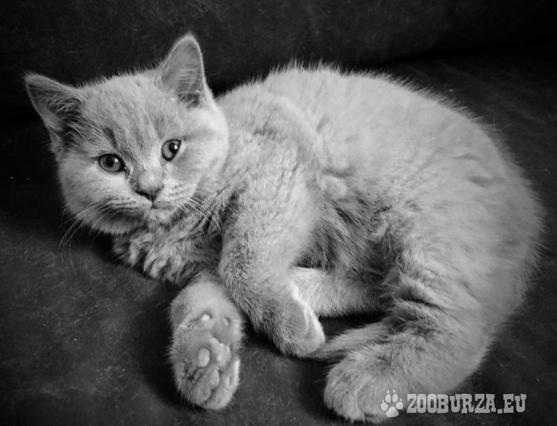 Britská koťátka bez PP