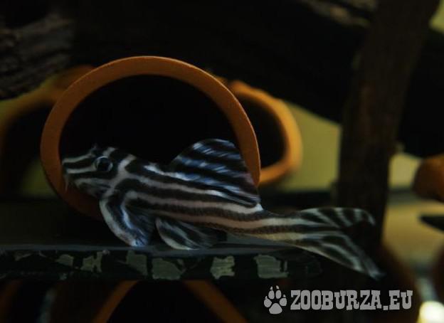 Dobrá kvalita L046 zebra pleco