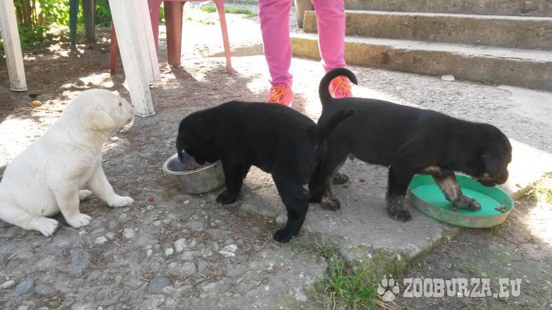 Predám šteniatka Labradora