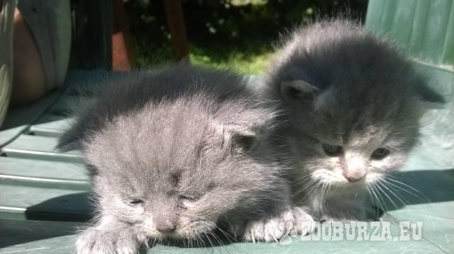 Prodám modrá koťátka