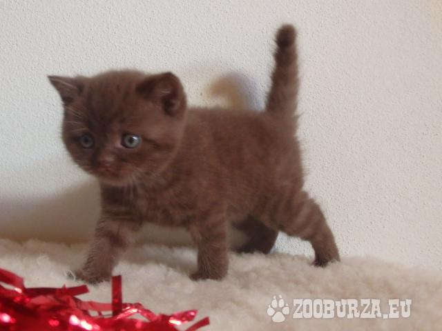 BKH Kätzchen mit Stammbaum,Eltern Tit. GIC