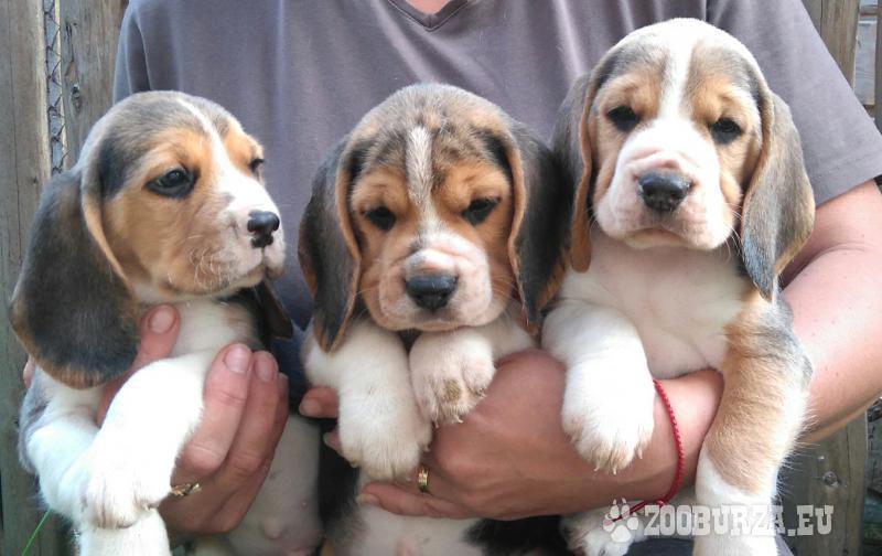 Bígel (beagle)  štaniatka s PP