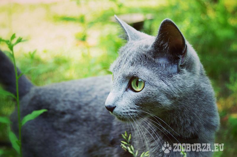 mačiatka - ruská modrá - s PP