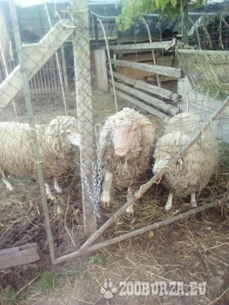 Baran a ovce