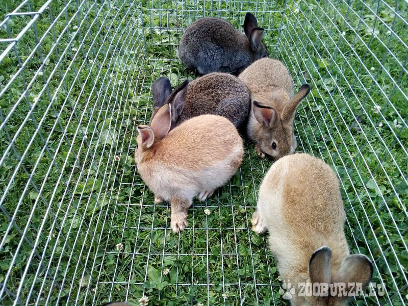 Zajace