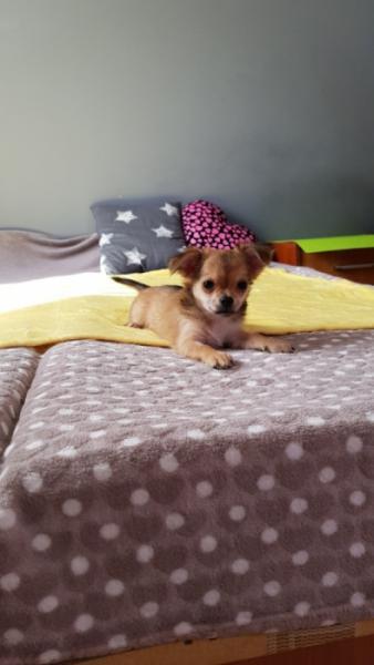 Piesek Chihuahua