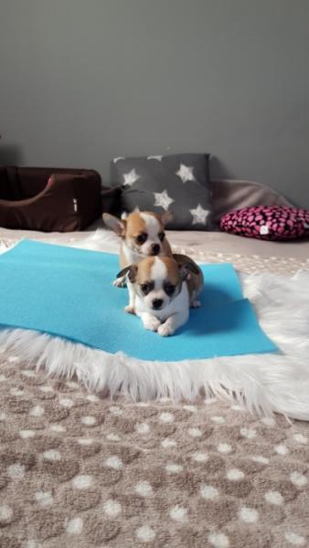 Malutkie pieski Chihuahua