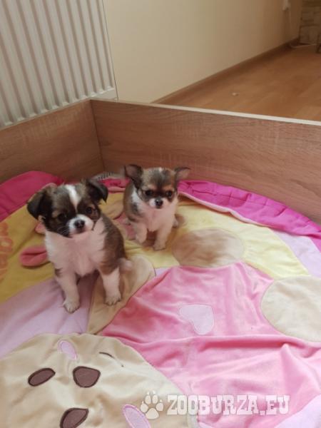 Chihuahua super rodzeństwo