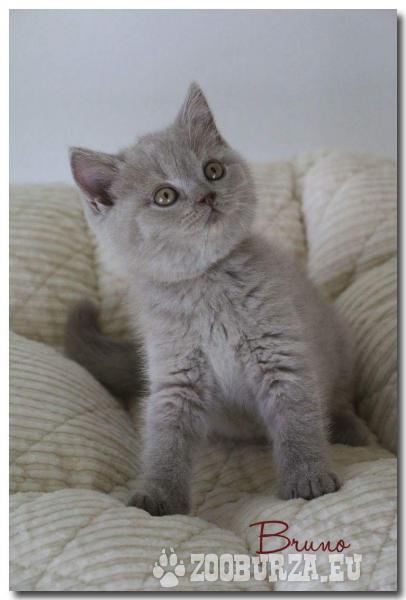 Britské krátkosrsté mačiatka s PP na predaj 4b8ca460534