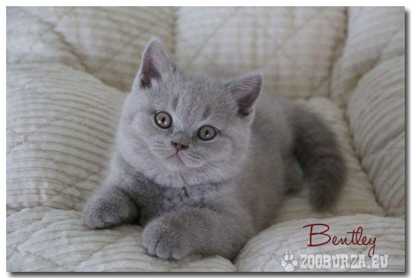 Britské krátkosrsté mačiatka s PP na predaj
